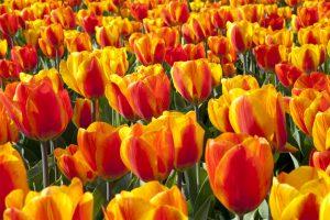 tipi di terriccio tulipani