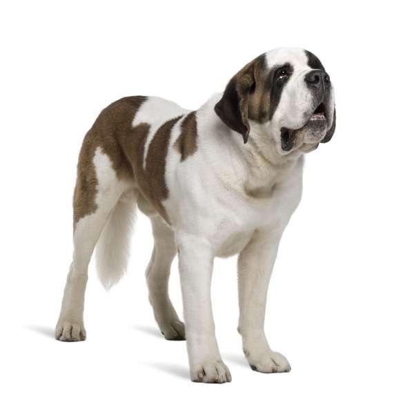 scegliere cane taglia grande