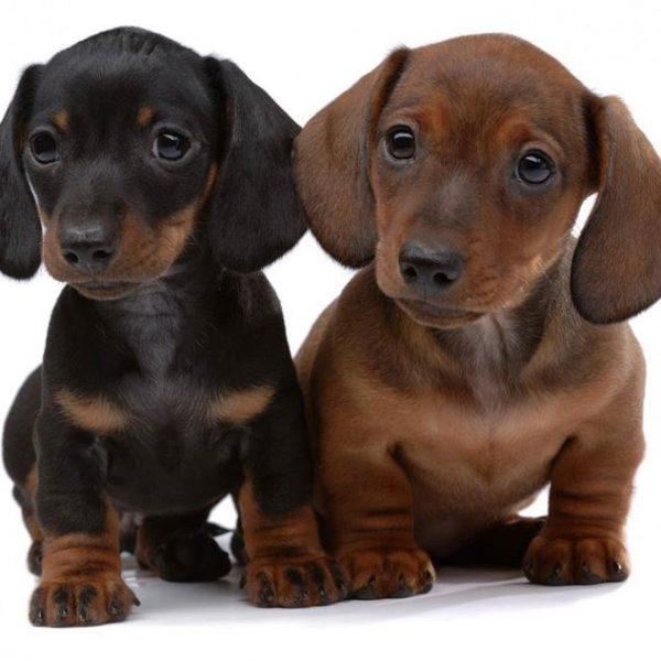 scegliere cane taglia piccola