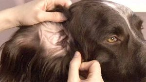 come controllare orecchie cane