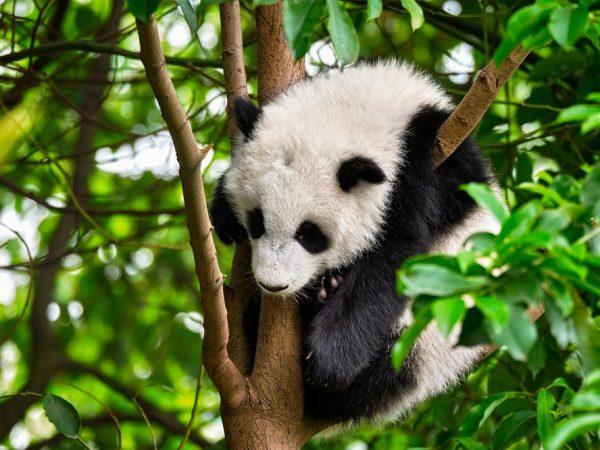 guardiano-dei-panda
